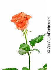rose, feuilles, carotte, arrière-plan vert, blanc