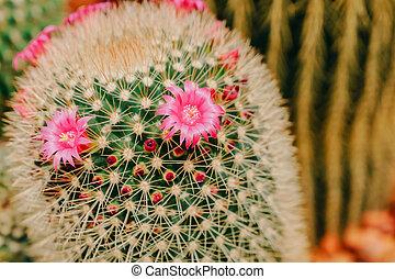 rose, fleur cactus, dans, fleur pleine