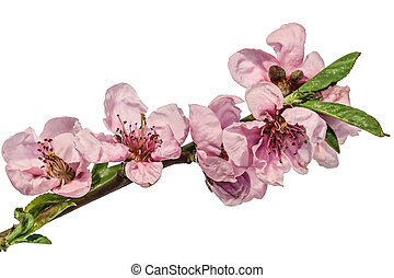 rose, fleur, cerise, prune, isolé, branche, printemps, blanc