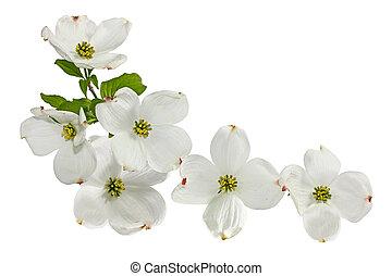 rose, fleurs blanches, cornouiller