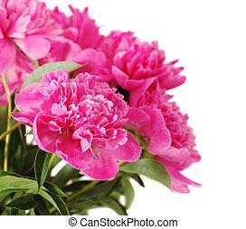 rose, fleurs blanches, isolé, pivoine