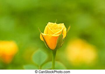 rose, fleurs, jaune