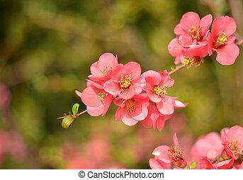 rose, fleurs ressort