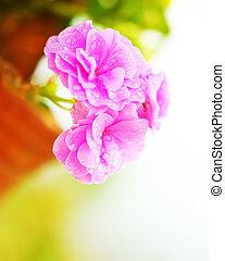 rose, fleurs ressort, mouillé