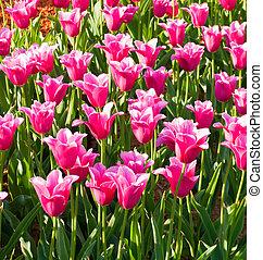 rose, fleurs ressort, tulipsl