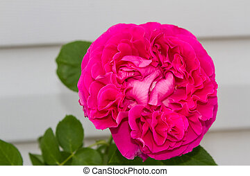 Rose flower against the wall