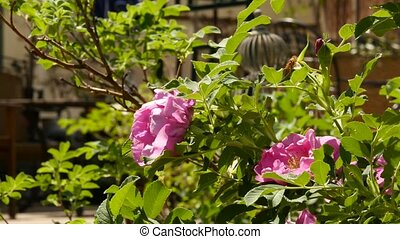 Rose Flower blooming in sun light. Bushes of pink oil rose...