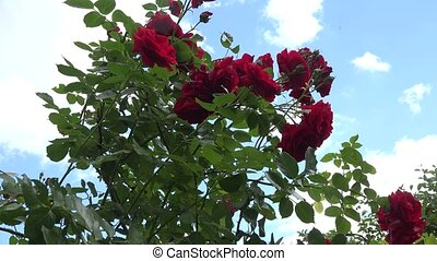 Rose flower bush full of blooms and blue sky with moving clouds. 4K
