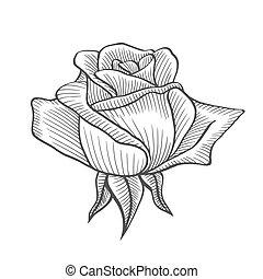 Rose flower illustration, line pattern. Vector artwork....