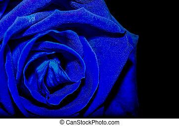 Rose flower isolated on black