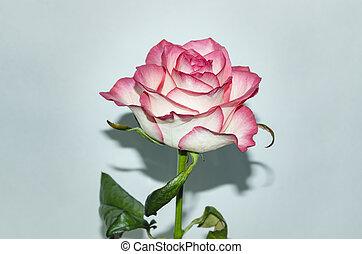 rose flower on a light background