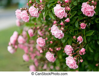 Rose flower on background