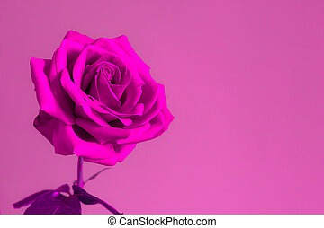 Rose flower on bright background.