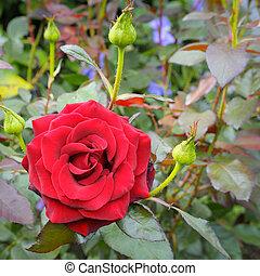 rose flower on garden background