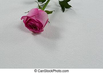 Rose flower on white background