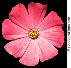 Rose flower Primula isolated on black