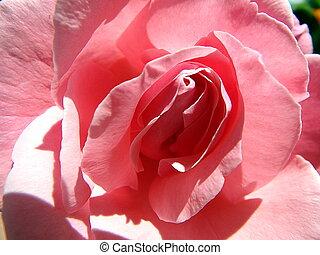 rose flower ,rose, eglantine, dog-rose , - rose flower ,rose...