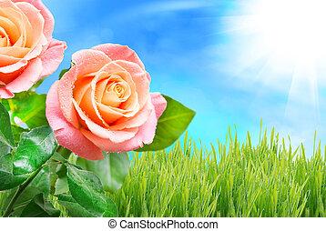 rose flower - Close up of rose flower