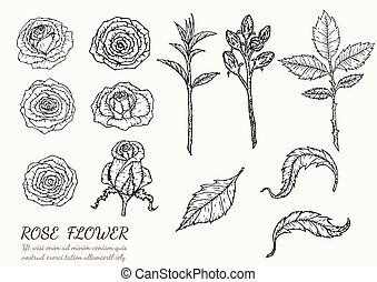 Rose flower vector by hand drawing.