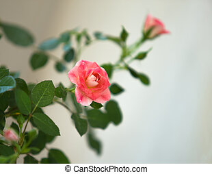 Rose flowers against the white wall