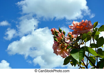 Rose flowers and buds on a background of blue sky and white clouds. Blooming rose Bush in the garden.