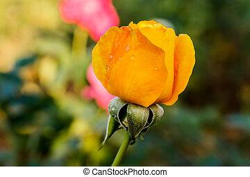 rose flowers in the garden in summer