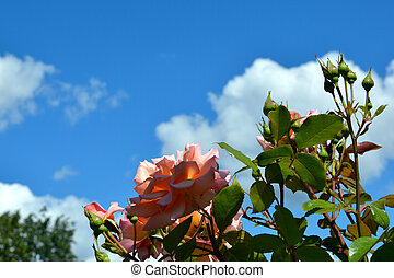 Rose flowers on a background of blue sky and white clouds. Blooming rose Bush in the garden.