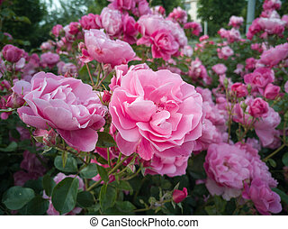 Rose Flowers with Green Leaves in the Garden