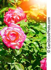rose, fond, beau, parc, nature
