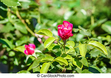 rose, fond, beau, parc, nature