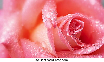 Rose - Pink rose with water drops close-up