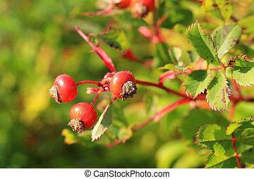 rose générique, automne, hanches