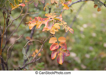 rose générique, feuilles, automne, arrière-plan., orange, rouges
