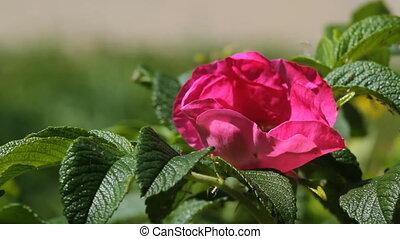 rose générique, fleur, abeille