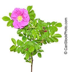 rose générique, fleur