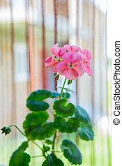 rose, géranium