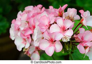 rose, géraniums, bicolore