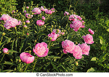 rose, garden., buisson, luxuriant, pivoine