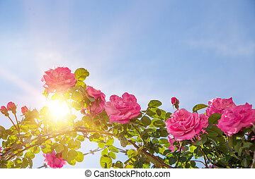 Rose garden over sky. Pink roses are blooming brightly. Sun...
