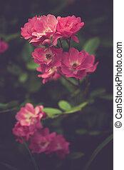 rose, giardino
