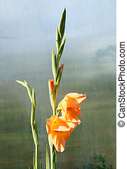 Rose gladiolus on light background