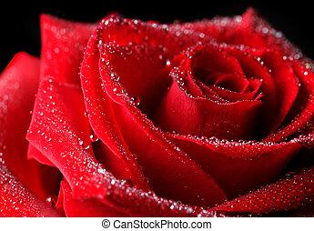 rose, gouttes, rosée