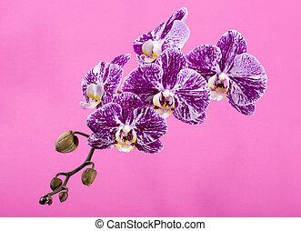 rose, gros plan, fleur, phalaenopsis, fond, orchidée