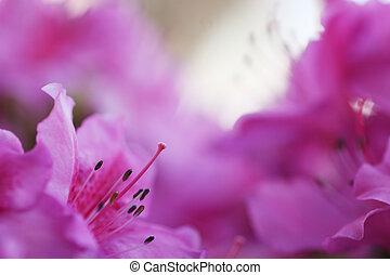 rose, gros plan, peu profond, dof, flower., blossom., foyer, pistil, azalée, stamens.
