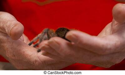 Rose Hair Tarantula Crawling on Hands - Handheld, medium...