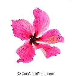 rose, hibiscus, blanc, isolé, fond