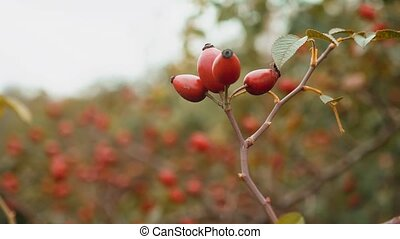 rose hip. Close-up view to red fruits on wild dog rose...