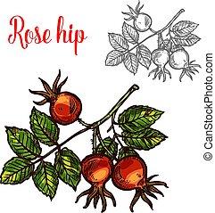 Rose hip fruit sketch icon. Vector botanical design of rose hep or haw berry fruit of dog rose plant with leaf for juice or jam dessert or farmer market isolated color sketch symbol