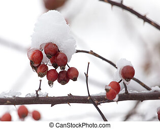 rose hips in the snow in the winter