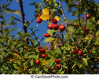 Rose hips on a bush with blue sky